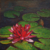 obraz Červený leknín